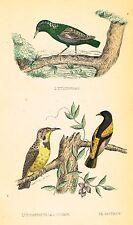 """G.T. Sas's Birds - """"LE TOURNEAU LA LOUISIANE"""" - Hand-Col. Litho -c1840"""