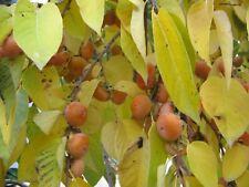Persimmon virginiana (Diospyros virginiana) 7 seeds