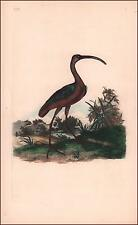 GLOSSY IBIS, BIRD, water color, engraved, antique, original 1799