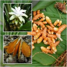 Curcuma Longa, Turmeric, Rhizomes Root For Cultivation, Heirloom Herbs 1/2 lb