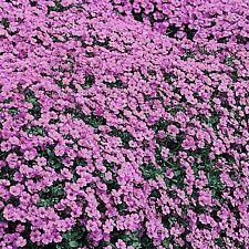 Aubrieta 'Purple Cascade' / Rock Cress / Hardy Perennial / 200 Seeds