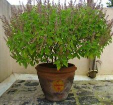 200+ Seeds Ocimum sanctum (Holy Basil, Tulasi, Manjari, Krishna Tulsi) ТУЛАСИ