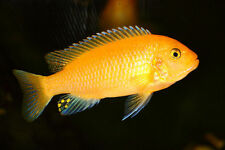 Cichlid Moderate Live Aquarium Fish for sale | eBay