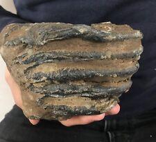 Meridionalis-Dent 1,4 kg mammutzahn Notez Notez Tooth fossiles etexemple