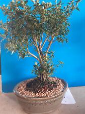 Mount fuji white flowering bonsai tree Serissa