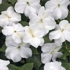 Impatiens- Walleriana Baby -White- 50 Seeds- BOGO 50% off SALE