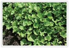 50 Gotu kola seed  (Centella asiatica) - medicinal herb, vegetable