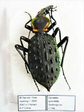 """Carabus coptolabrus ignimitella antaeus as """"guidongicus"""" (female A1) from CHINA"""