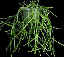 Rhipsalis DISSIMILIS Cactus Cacti Succulent -  R8 Cutting (Will Combine Post!)