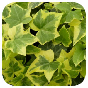 Hedera Golden Child Trailing Ivy 6X ROOTED PLUG CUTTINGS Climbing Plant ORGANIC