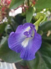 65 Seeds Butterfly Pea Clitoria Ternate Key West Florida Garden Flower Blue Vine