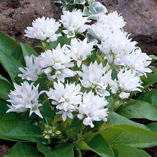 "DWARF Clustered BELLFLOWER ~Snow-White~ ""Campanula Glomerata"" 25+ Seeds"