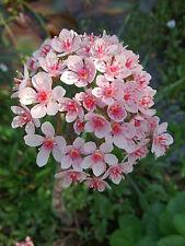 SEEDS 6 graines de RHUBARBE INDIENNE (Darmera Peltata) INDIAN RHUBARB SAMEN