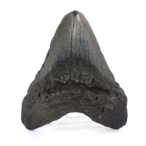"""Carcharodon megalodon Fossil Shark Tooth  (EA8658)   10.17cm or 3.98"""" From USA"""