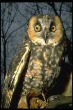 707011 Short eared Owl A4 Photo Print