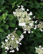 Hydrangea anomala Petiolaris 30 seeds