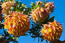 Extremely rare seeds *LIPARIA SPLENDENS *  Mountain Dahlia* 3 FRESH SEEDS