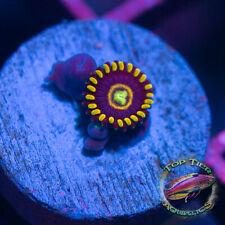 New listing Blue Hornets - Wysiwyg Live Coral Frag- Top Tier Aquatics
