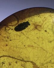 Leaf Vein and Beetle inclusion in Burmite Amber Fossil Genuine