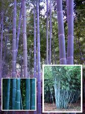 ☃ Blauer Bambus ☃ Vermehrt sich im Blumentopf / winterfest bis -10° / Saatgut ..