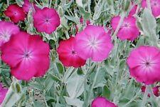 Lychnis coronaria ou coquelourde  - jeune plante - vivace - été
