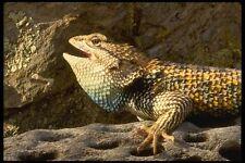 196076 Desert Spiny Lizard A4 Photo Print