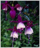 US-50pcs/bag Fuchsia Seeds Potted Flowers seeds,bonsai seeds for home garden