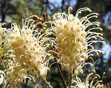 White Flower Grevillea banksii Seed Drought Tolerant Evergreen Shrub/Small Tree