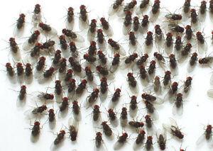 Fruit Fly Large (Flightless) x 1 Culture Amphibians Frogs Chameleons Inverts