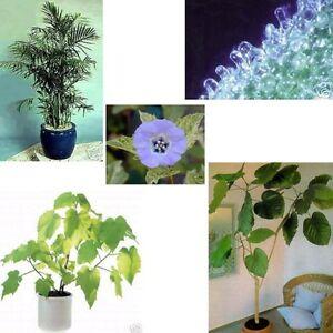Samen - Set 5 wunderbare Zimmerpflanzen, Linde Bergpalme Ficus Sonnentau Lampion