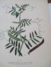 Common Vetch or Wild Tare Antique Botanical Print