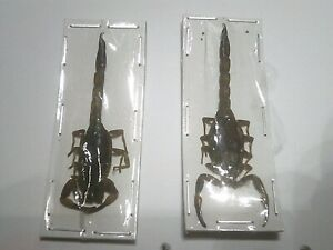 Real Scorpion/Insect/Beetle Semi Set B7411 Rare Scorpion Buthus martensi x 1