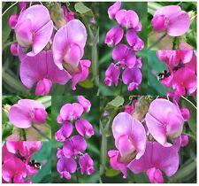 (50) Everlasting Sweet Pea Flower Seeds - Lathyrus latifolius -  Combined S&H