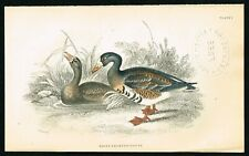 1840 Greater White Fronted Goose, Hand-Colored Antique Print - Lizars
