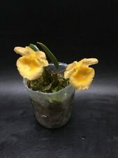 Dendrobium Ueang Phueng Miniature Orchid Blooming Size Plant