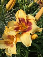 Daylily Golden Glove gold & plum Hemerocallis perennial ~ Df or 2 plants