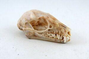 Egyptian rousette fruit bat (Rousettus aegyptiacus) skull REAL
