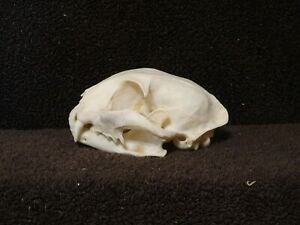 Real Bobcat Lynx Rufus Skull Taxidermy Art Hunt Trap Museum Science Class
