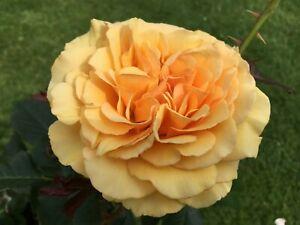 Amber Queen   Floribunda Rose  4ltr Potted Rose Plant   Amber
