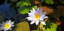 Tropical Waterlily Nymphaea Purple Elegans Hooker Small color changing