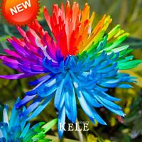 50 PCS Seeds Rainbow Chrysanthemum Flowers Bonsai Rare Color Home Garden Plants