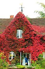 50 Fresh Virginia Creeper Vine Seeds, Autumn Fall Decorative Climbing Perennial