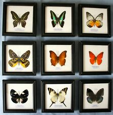 Butterfly Picture Frame - Many Species to Choose from - Display Case Insects Bug