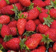 Pack x6 Alpine Strawberry 'Scarlet Beauty Vegetable/Fruit LARGE SIZE Plug Plants