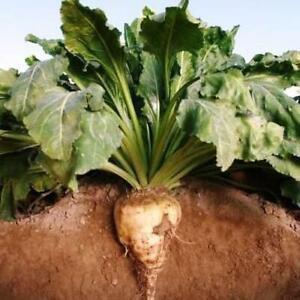 250 Sugar Beet Seeds beta vulgaris
