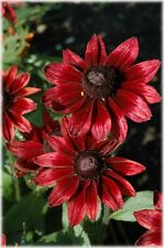 NEW  50+ CHERRY BRANDY RUDBECKIA FLOWER SEEDS  / PERENNIAL