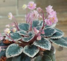 African Violet Plant - Tinker Bells~ variegated semi~ in bloom