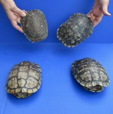 4 piece lot of 6 to 7 inch Red Eared Slider Turtle Shells - taxidermy # 37873