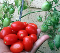 Mini Roma Tomato - One of the Best Tomato You will Ever Taste - 10 Seeds