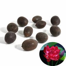 2x Red Lotus Bowl Water Lily Seeds